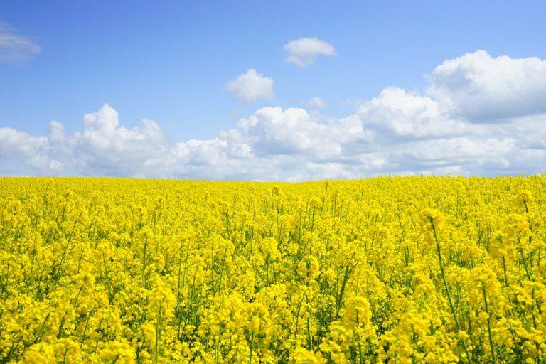 Jaka ochrona zbóż ozimych jest odpowiednia?
